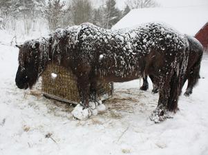 IS-landshästar i Malsta.