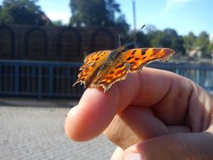 tog denna bild på slottsbron i stan, det låg en tam liten fjäril mitt på bron så himla fin, självklart la vi ner den bland blommorna efter att den hade blivit fotad. Riktig cityfjäril!!