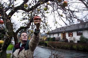 Äpplena är som förr, konstaterade Sixten Thunström år 2001. När han var ung stod träden i familjens trädgård.