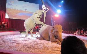 Visst kan elefanter göra rena cirkuskonster. Foto: Roland Engvall