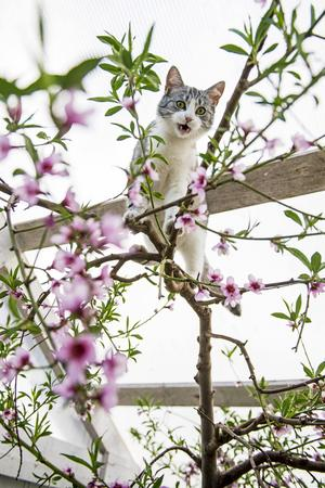 Persikoträdet blommar i slutet av april. Katten Alfa hjälper till med pollineringen eftersom insekterna inte vaknat till liv.