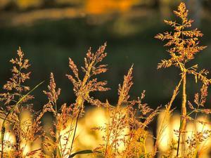 Skimrande gräs
