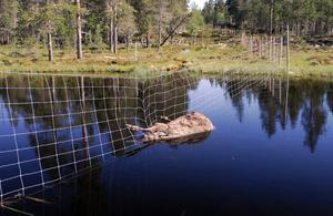 Älgdöd. I renstängslet på gränsen mellan Norge och Sverige har en älg trasslat in sig och inte kommit loss. Foto: Jan Åke Fritzson