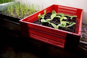 De här plantoerna hos jordbruket  växte til sig riuktigt bra under sommaren.