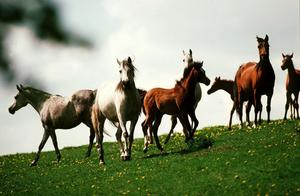 Bruna och vita hästar i rörelse på grässluttning.Foto: Kent Östlund/SCANPIX