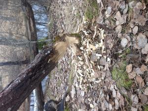 Träd fällda av bävrar nere vid Melings bäcken.
