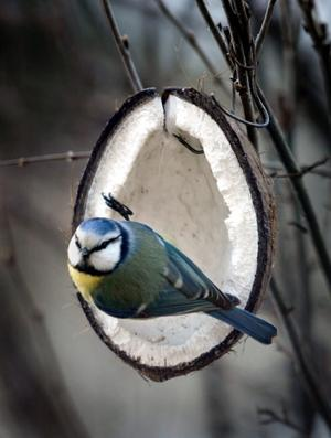 På tredje plats. 153 blåmesar observerades när Hällefors ornitologiska förening gjorde sin årliga räkning.