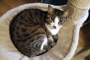 varmt och skönt. Hilma kurar ihop sig i korgen inomhus på katthemmet.