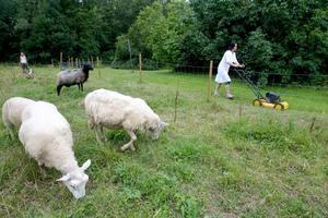 Reidun Wingfjord klipper gräset på ena sidan, fåren på den andra.