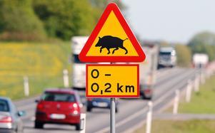 Vildsvin kan orsaka rejäla skador i trafiken.