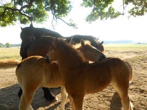 Ardennerfölen Vilmer och Ella hjälper varandra att klia sig.