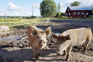 Här är de två suggorna på gården.