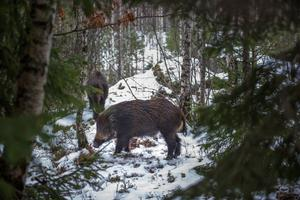 Vildsvinen bökar i jorden. För lantbruket i södra Sverige har de gjort stor skada.