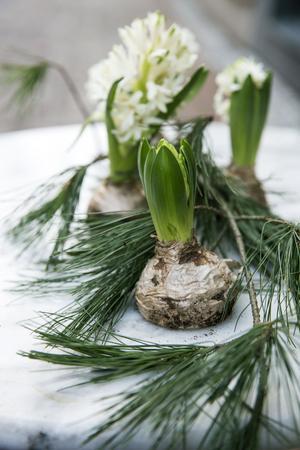 Ett  kul dekorationstips från floristen Stina är att halvera lökarna på hyacinter och  sedan placera dem direkt på den halva löken på festbordet.