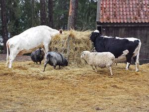 Gamla raser av tamboskap bevaras för framtiden på Vallby friluftsmuseum. Här syns några olika kor och får vid matningen.