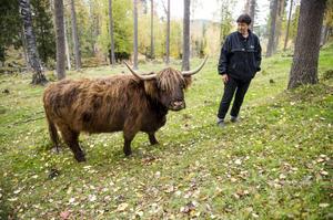 Smulan - en av de 15 highland cattie-korna som finns på gården.