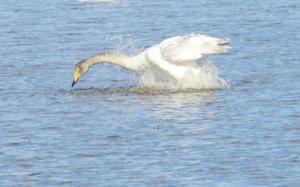 Mellan Salbohed och Sätrabrunn, där svämmar många åkrar över av smältvatten. Det har tydligen blivit ett kärt tillhåll för svanarså där tog jag denna bild.