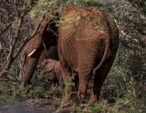 En elefantfamilj i bushen. Madikwe game reserve har Sydafrika näst största elefantpopulation.