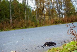 Björnspillning har hittats i Gäddede.