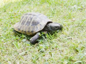 Rymling. Sköldpaddan Chaos.Foto: Katarina Hanslep