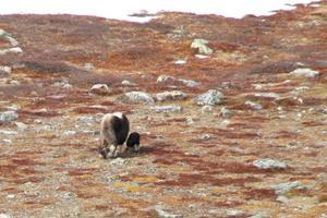 Den nyfödda kalven med sin mamma. Bilden har tagis på långt avstånd för att inte störa djuren.