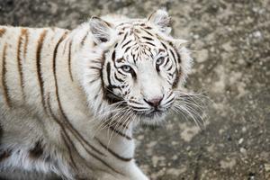 Den vita bengaliska tigern Siri är en av bara drygt 180 individer i hela världen. Alla lever i djurparken efter att ha blivit utrotade i det vilda.