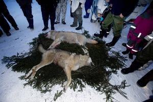 Licensjakten på varg i fyra av fem län stoppas tills vidare av förvaltningsdomstolarna.