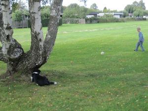 Pojken och border collien spelade fotboll. Hunden lurpassade bakom ett träd och när pojken sparkade iväg bollen, for hunden iväg som en blixt och haffade bollen, bar tillbaka den men släppte den 10-20 meter framför grabben och kvickt smet in bak trädet och gömde sig igen.