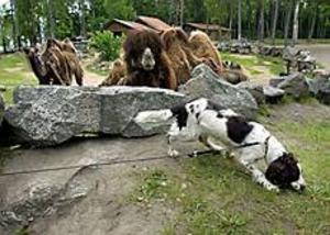 Foto: LARS WIGERT Övning. Inget knark i puckeln. Hos kamelerna i Furuvik hittade inte Molly någon narkotika. Hundföraren heter Lars Ekström.