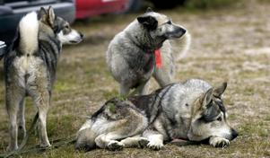 Trötta älghundar efter dagens jakt.