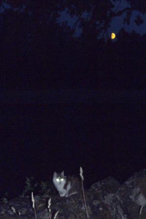 Ute på den ekologiska bondgården Bovallen kryllar det av katter. En av demsmög denna varma månskenskväll längs stenmuren, som omger nästan helagården. Då jag blixtrade till med kameran fanns plötsligt tre självlysande månar på fotot.