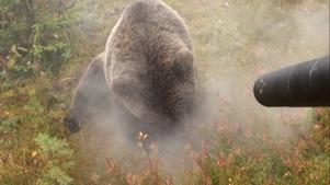 En kamera är monterad parallellt med bösspipan och visar en 160 kilos björn som sköts förra året.