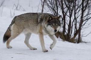 Jaktkritiker nyttjar sin talerätt flitigt när det gäller de stora rovdjuren.