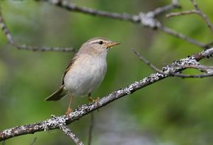 Lövsångare är en av de fågelarter som väljer att komma till Sverige allt tidigare på grund av det allt varmare klimatet. Foto: Seppo Remes
