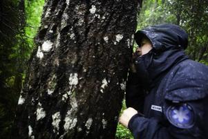 Bernt Moberg använder luppen för att se på en av de mer sällsynta lavarna som växer i naturreservatet.