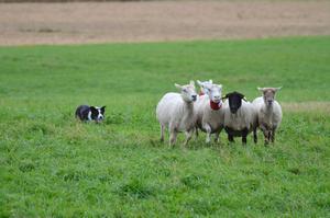 Bordercollien driver de fem fåren framför sig mot hagen.Foto: Peter Eriksson/Arkiv