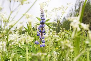 Lupinens skönhet bedrar, den livskraftiga arten hotar att konkurrera ut andra blommor.