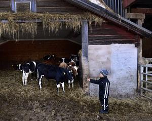 Linnea har god hand med tjurarna och är inte rädd att gå in i boxarna för att mata dem.