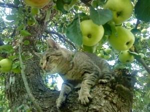 Sigge är min flickväns katt, han älskar att vara där och han ser ut som att han vaktar sitt träd och sina äpplen.