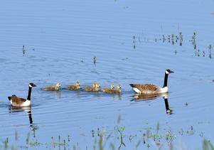 Bilden tagen vid den nyligen av länsstyrelsen restaurerade Frövisjöni Skultuna.  Den har åter blivit samma fina fågelsjö som den en gång var.