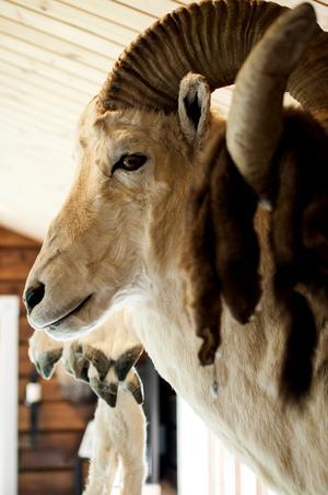 """Bakom varje jakttrofé finns en historia förstås – och många strapatser. Det speciella Morco Polo fåret hittar man bara i otillgängliga bergen i centralasien. """"Vi fick åka bil i 20 timmar och rida i tio timmar"""", berättar Stian om sin resa till Tadzjikistan."""