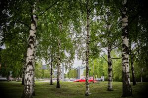 I Sundsvall finns det många platser där björkar planterats . Något som inte påverkar pollenhalten nämnvärt.