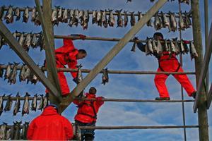 Ett tungt och farligt arbete. Svolvaer. Hudiksvallsfotografen Marianne Ersson skildrar skreifisket på Lofoten.