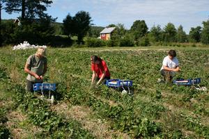 Söta gubbar. Svenska jordgubbar smakar sämre numera, eftersom aromrika sorter inte klarar av långa transporter. I Ulvsta är jordgubbarna dock aromrika och söta. På bilden ser vi Albin Jonsson, Helen Skogh och Viktor Landström.