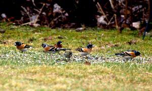 Den 21 april 2012 fick vi fint besök vid fågelbordet, en massa Bergfinkar.