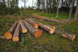 Enligt Naturskyddsföreningen har SCA fällt dessa träd i strid med de FSC-regler man åtagit sig att följa. Träden bär spår av skogsbrand, så kallade brandljud, och borde därför ha sparats, menar Naturskyddsföreningen.Foto: Hans Sundström