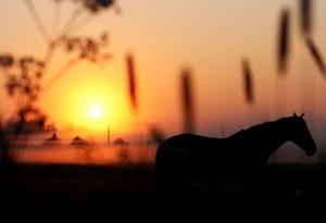 En häst på sommarbete en väldigt tidig morgon.