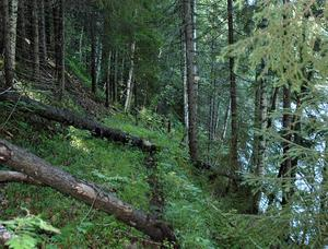 """Skyddsvärd. Skogarna på de branta niporna, som reser sig bredvid mjällån bjuder på en unik naturupplevelse. """"En avverkning här skulle få enorm påverkan på bäckar och markvegetation"""", säger Harald Sehlin."""