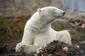 Isbjörnen mår bra när den får bada och simma en stund.Foto: ULF PALM / SCANPIX