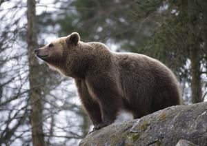 Brunbjörn./Arkivbild